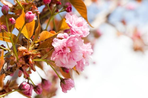 Sakura kwitnąca gałąź zbliżenie z kopiowaniem przestrzeni