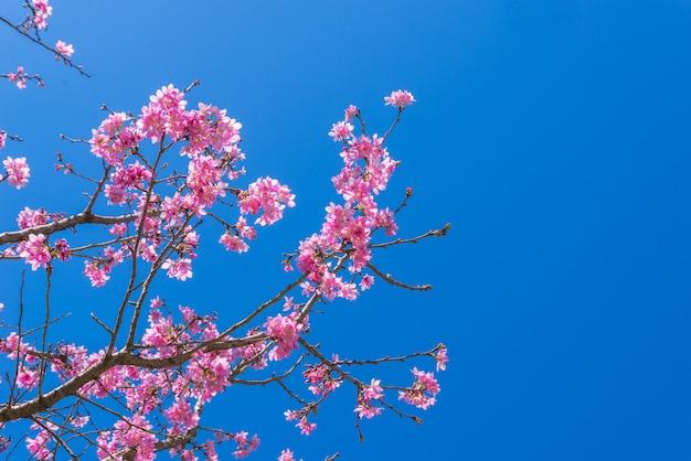 Sakura kwitnie na gałąź z niebieskim niebem podczas wiosny