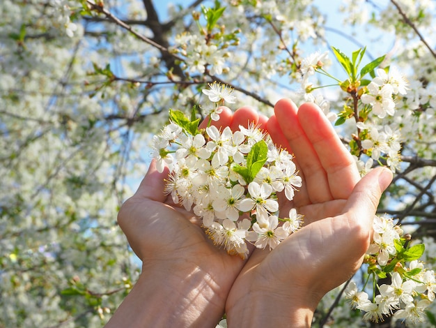 Sakura kwitnie w dłoniach. wiosenne kwiaty wiśni.