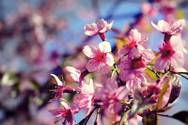 Sakura lub kwiaty wiśni, natura tło