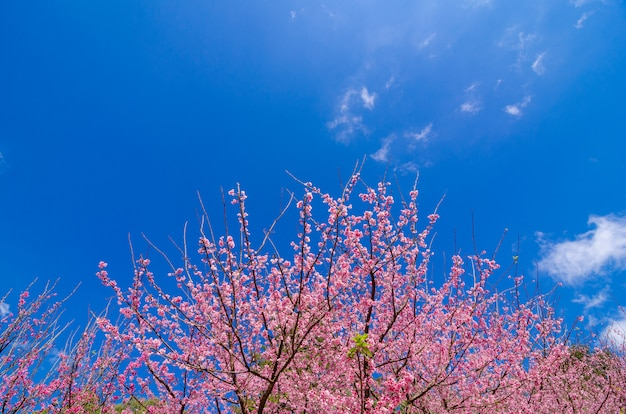 Sakura niebieskie tło angkhang chiang mai tajlandia