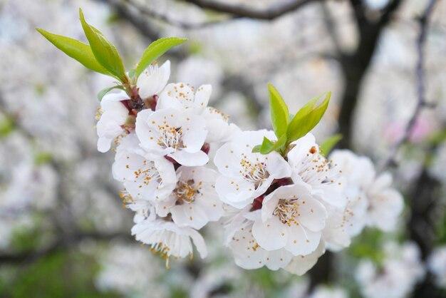 Sakura piękny kwiat drzewa w okresie wiosennym, zbliżenie