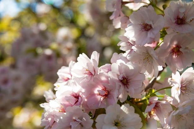 Sakura różowy kwiat, wiśniowe drzewo w parku.
