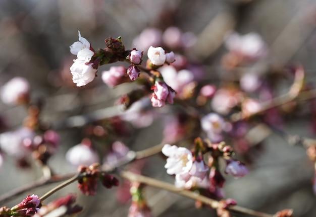 Sakura w wiosennym ogrodzie.