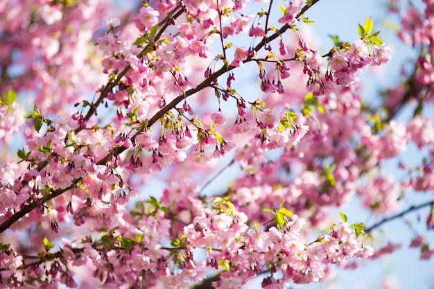 Sakura. wiśnia w ogrodzie.