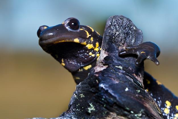 Salamandra ognia