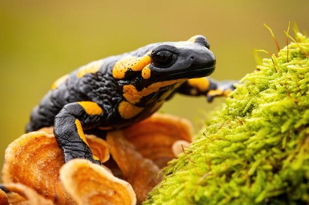 Salamandra ognista na gałęzi