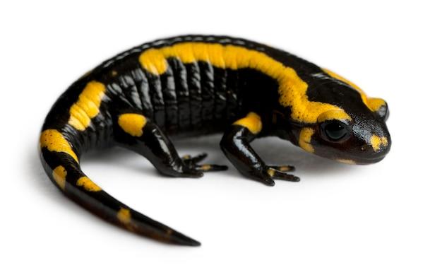 Salamandra ognista (salamandra salamandra)