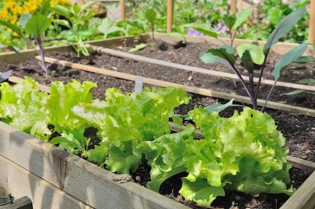 Sałata i sadzonki rosnące w małym ogrodzie warzywnym