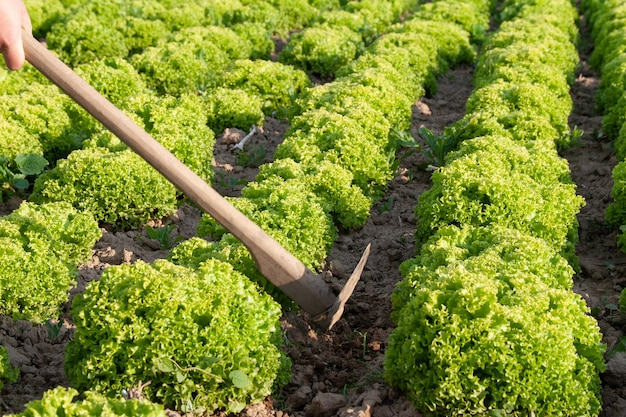 Sałata liściasta na łóżku ogrodowym w polu warzyw. świeże liście sałaty. uprawa sałaty w rzędach na polu