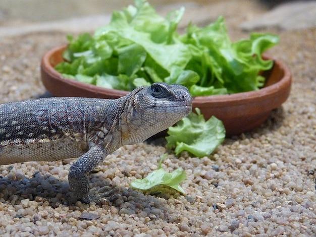 Sałatka oczy gadów terrarium jaszczurka zwierzę
