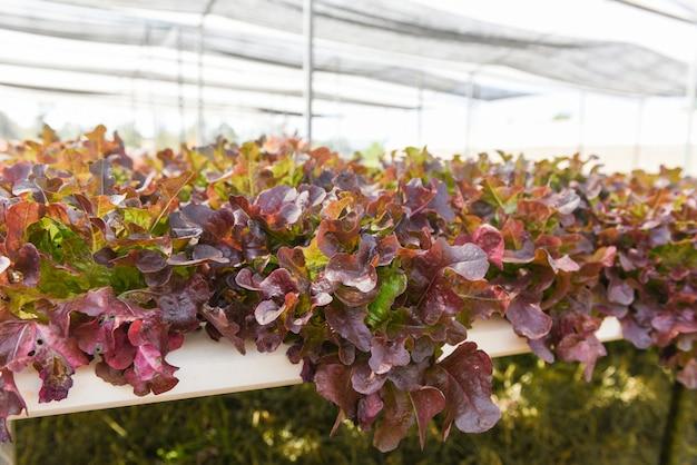 Sałatka ze świeżej sałaty z czerwonego dębu rosnąca w ogrodzie hydroponicznych roślin sałatkowych w szklarni -