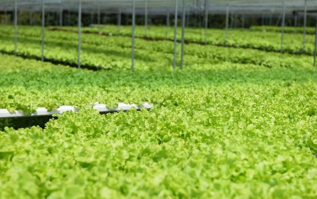Sałatka ze świeżej zielonej sałaty dębowej rosnąca w ogrodzie - hydroponiczne rośliny sałatkowe rolnicze rolnictwo w szklarni organiczny system hydroponiczny