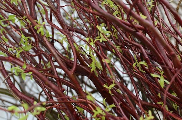 Salix roślina z zielonymi liśćmi