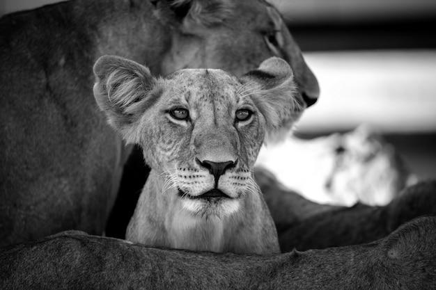 Sall lion między nogami matki i patrzy na coś