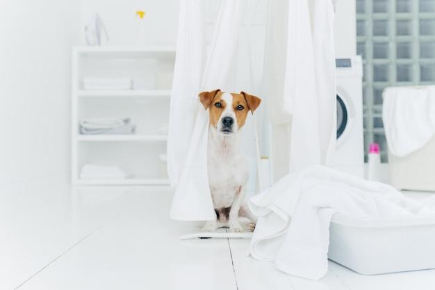 Salowy strzał jack russell terrier w pralni, biały świeżo myjąca pralnia na suszarek do ubrań