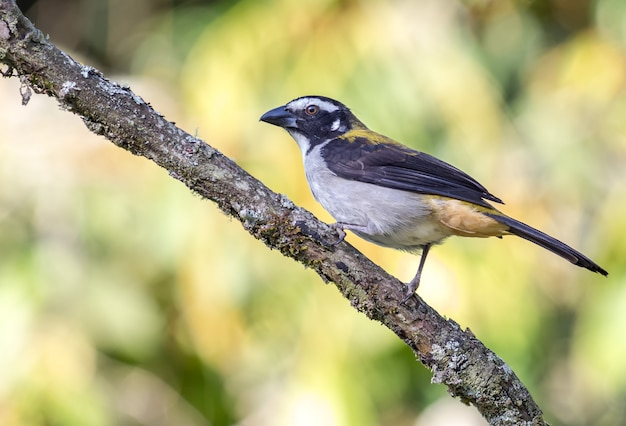 Saltator ptasia pozycja na gałąź