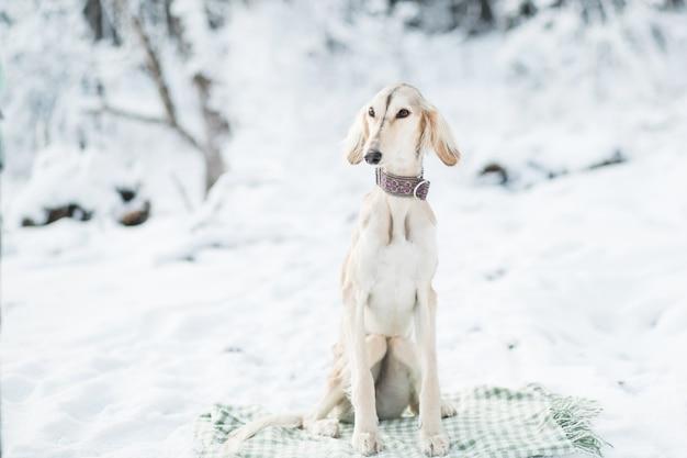 Saluki siedzi w zimowym lesie siedzi na kratę. wysokiej jakości zdjęcie