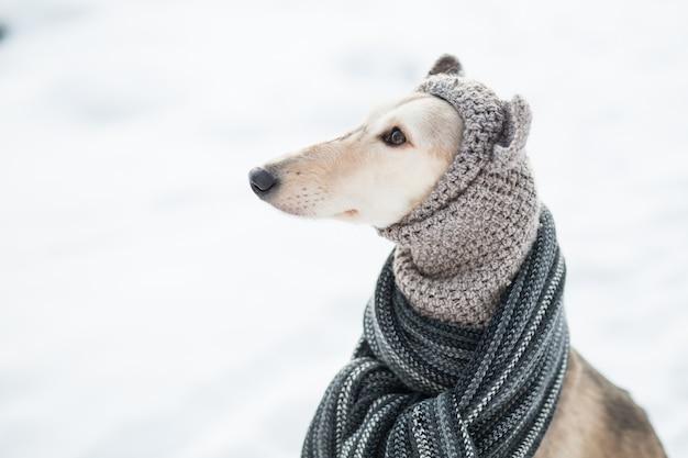 Saluki w czapka i szalik w zimowym lesie z bliska portret. widok z boku