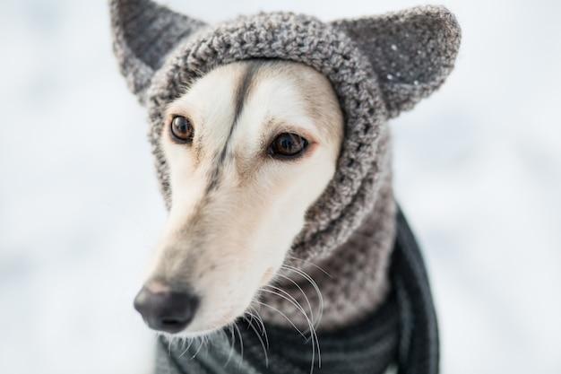 Saluki w czapkę i szalik w zimowym lesie z bliska.