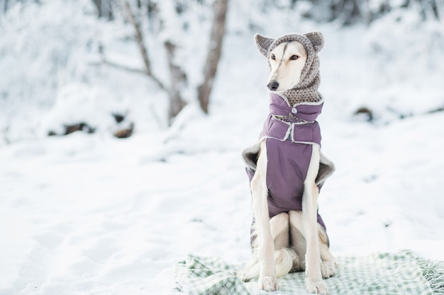Saluki w czapkę i ubrania w zimowym lesie portret