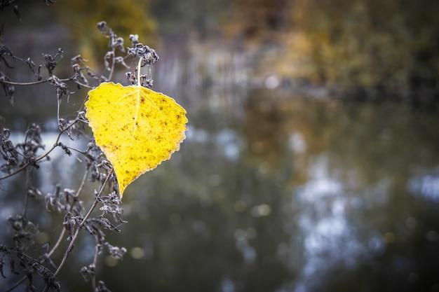 Sam żółty liść osiki w ciemności rzeki. jesienne liście spadają. skopiuj miejsce