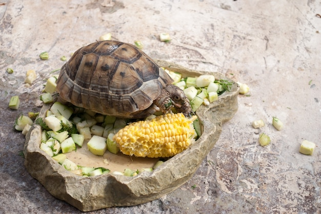 Sam żółw środkowoazjatycki je warzywa na kamieniu