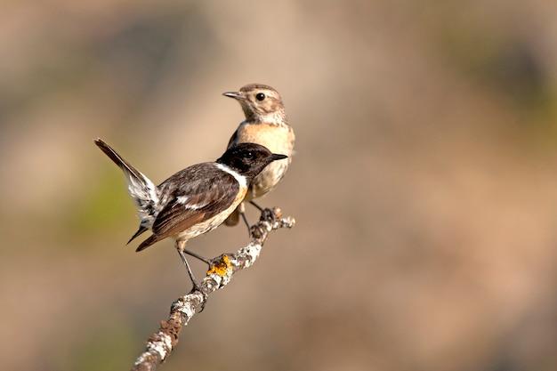 Samce i młode stonechat, ptak śpiewający, ptaki, stonechat, saxicola rubicola
