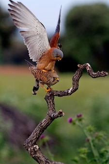 Samce i samice krycia pustułki, sokoła, ptaków, ptaków drapieżnych, jastrzębia, falco naunanni