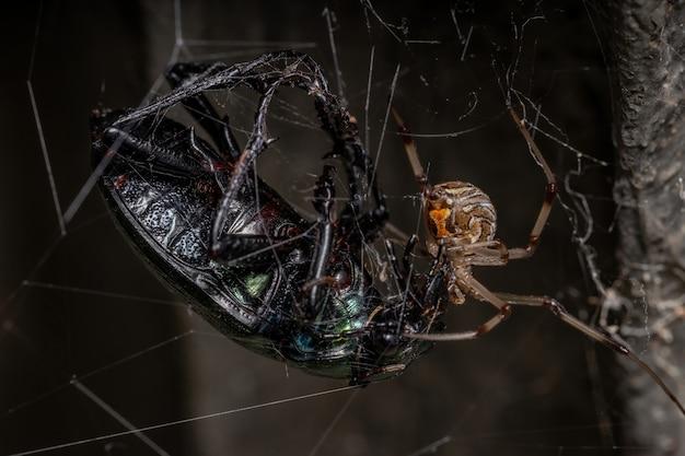 Samica dorosłej wdowy brunatnej z gatunku latrodectus geometricus polująca na dorosłego polującego gąsienicę chrząszcza z gatunku calosoma alternans