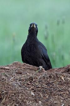 Samica dzięcioła czarnego z pierwszym świetle poranka, dzięcioł, ptaki, dryocopus martius
