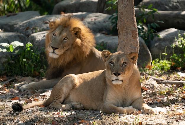 Samica i samiec lwa w niewoli