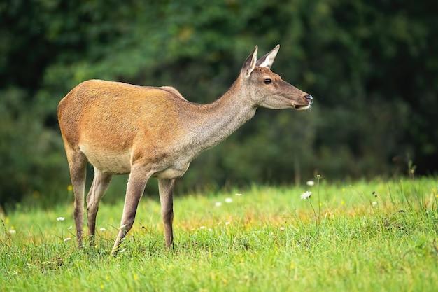 Samica jelenia wącha w powietrzu na łące jesienią.