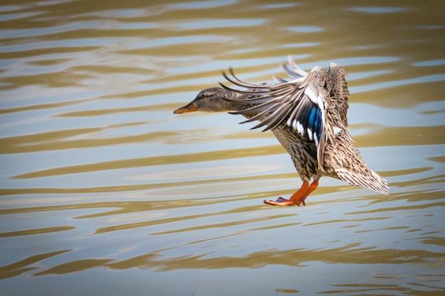 Samica krzyżówki lądowania na wodzie