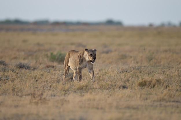 Samica lwa na polu krzewów poluje na zdobycz