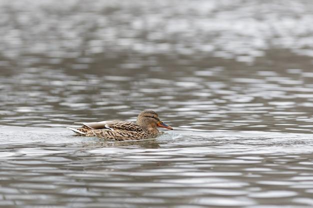 Samica na wodzie rzeki wczesną wiosną