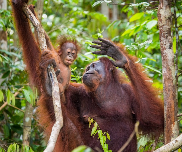 Samica orangutana z dzieckiem na drzewie. indonezja. wyspa kalimantan (borneo).