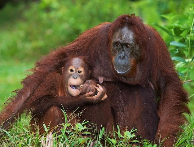 Samica orangutana z dzieckiem na ziemi. indonezja. wyspa kalimantan (borneo).