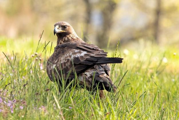 Samica orła przedniego w lesie dębowym przy pierwszym świetle dnia