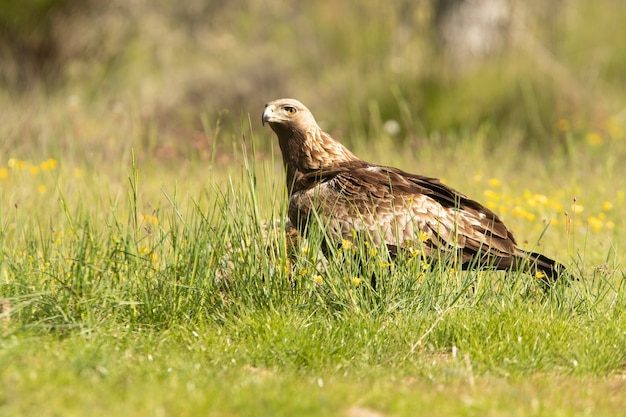 Samica orła przedniego w lesie dębowym z pierwszymi porannymi światłami w wiosenny dzień