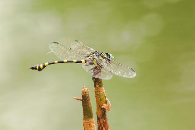 Samica orthetrum sabina rozpościera skrzydła na suchej gałęzi.