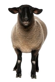 Samica owiec rasy suffolk, ovis aries, 2 lata, stojąca na białym tle