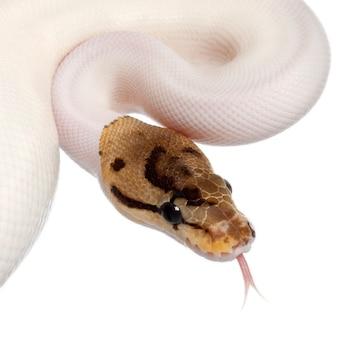 Samica pająka pająk royal python, python kulowy - python regius pied