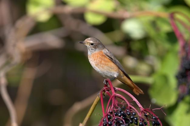 Samica pleszka zwyczajna phoenicurus phoenicurus w zbliżenie siedzi na gałęzi