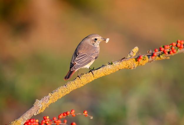 Samica pleszka zwyczajna phoenicurus phoenicurus zbliżenie siedzi na gałęzi