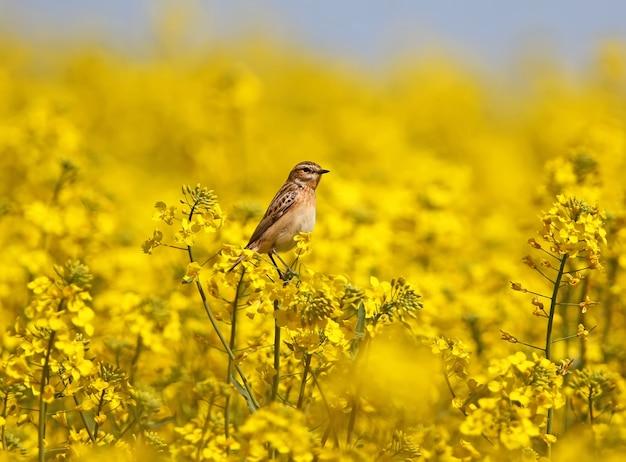 Samica pokrzywka (saxicola rubetra) siedzi na kwiatach rzepaku na tle błękitnego nieba