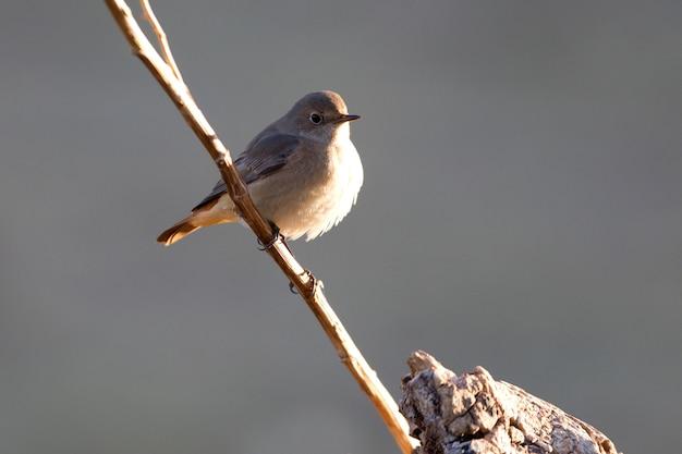 Samica pospolita na nowo z ostatnimi światłami popołudnia, ptaki, phoenicurus phoenicurus