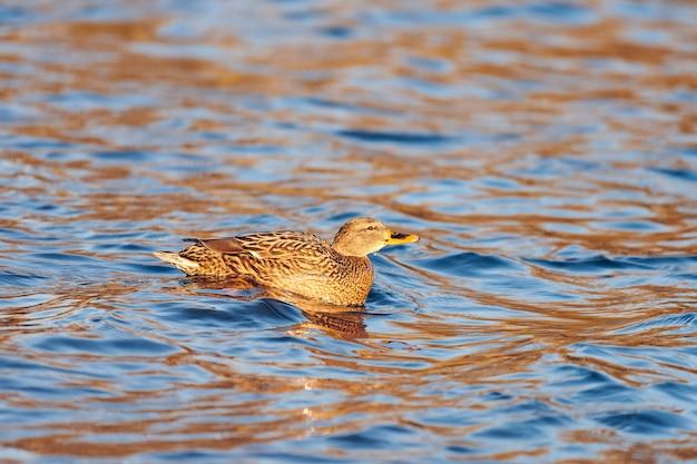 Samica ptactwa wodnego krzyżówki bawiące się w stawie lub rzece