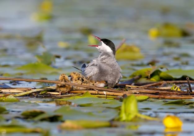 Samica rybitwy wąsatej z trzema pisklętami siedzi w gnieździe i wrzeszczy