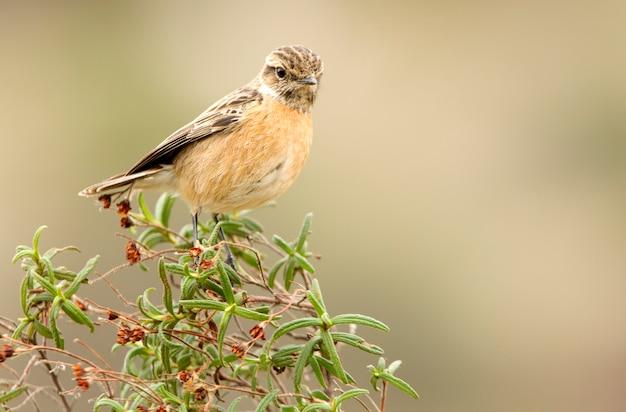 Samica stonechat, ptak śpiewający, ptaki, stonechat, saxicola rubicola
